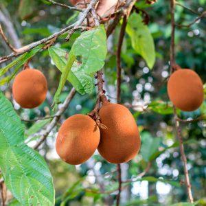 cupuacu oil
